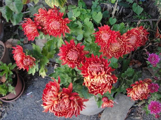 Chrysanthèmes  - Page 5 Dsc09418