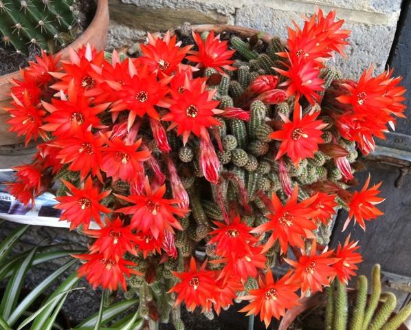 Démarrage d'une collection de plantes grasses et succulentes - Page 2 Fleurs19