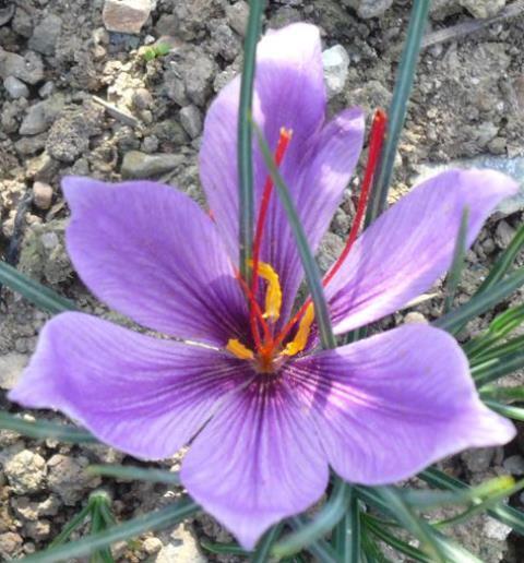 Iris reticulata - Page 4 I-gran10