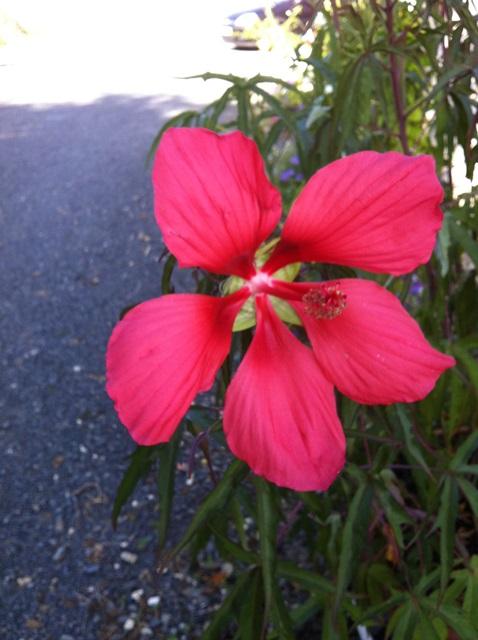 Hibiscus coccineus - Page 20 Img_2010