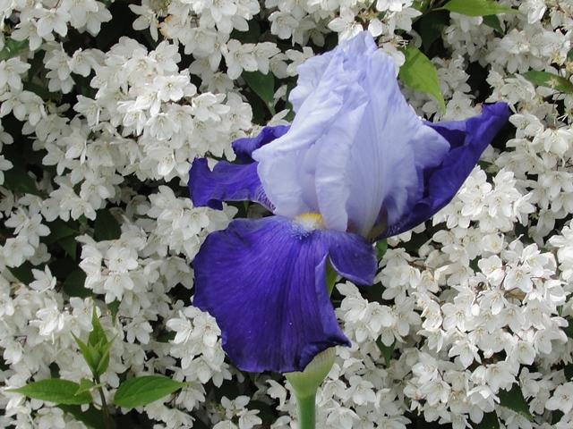Iris : floraison 2014 - Page 9 Iris_a10