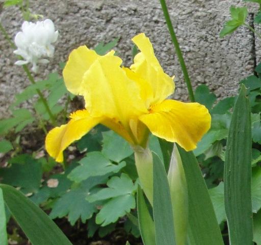 Iris : floraison 2014 - Page 9 Iris_p10