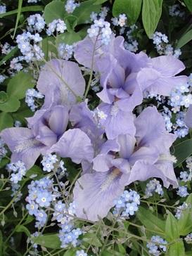 Iris : floraison 2014 - Page 9 Iris_s11