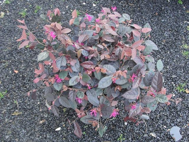 Loropetalum chinensis Loropa10