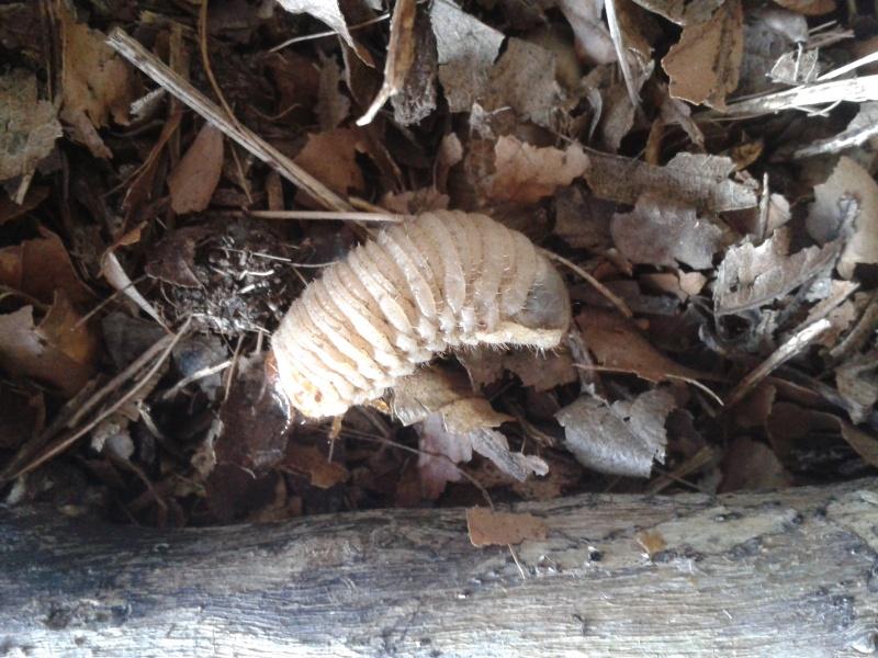 Comportement de larve de cétoine 2014-010