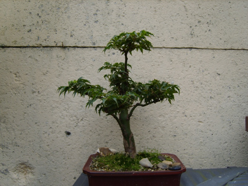 mes bonsaïs - Page 3 13aout10