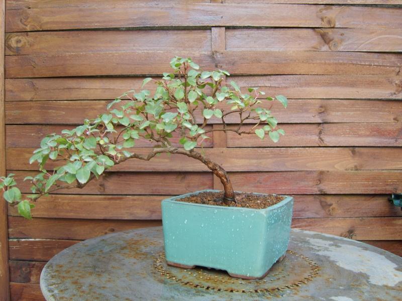 bonsaï fuchsia  - Page 2 15fev210