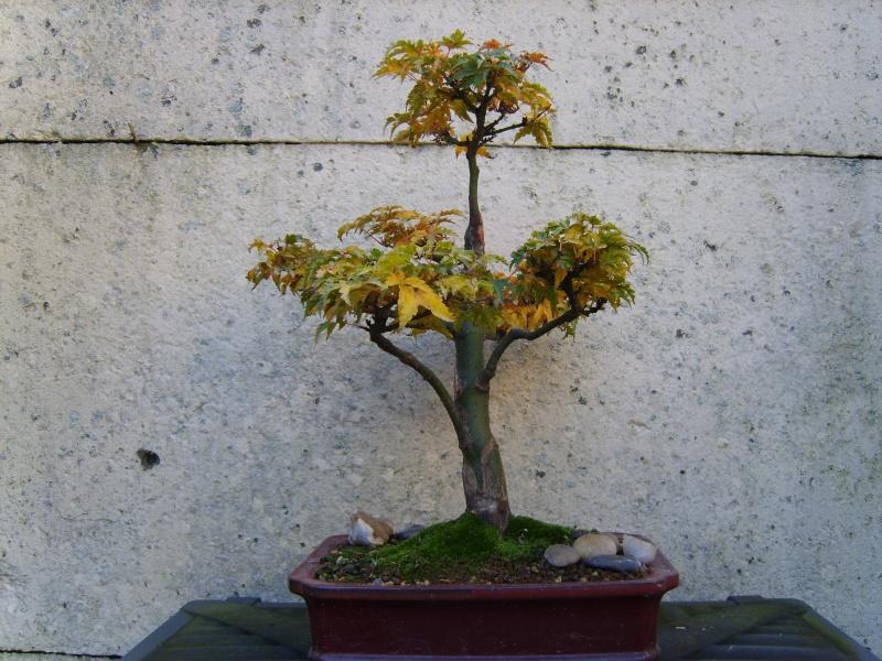 mes bonsaïs - Page 3 15nov211