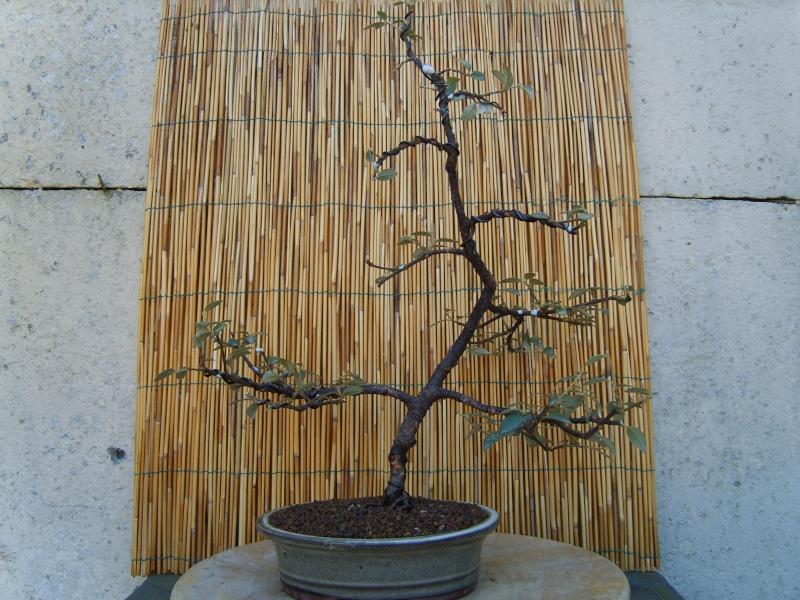 mes bonsaïs - Page 4 16fev210