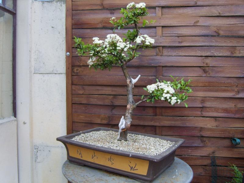 mes bonsaïs - Page 6 17mai210