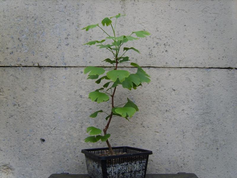 mes bonsaïs - Page 6 17mai211