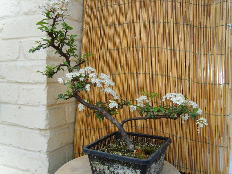 mes bonsaïs - Page 6 23mai211