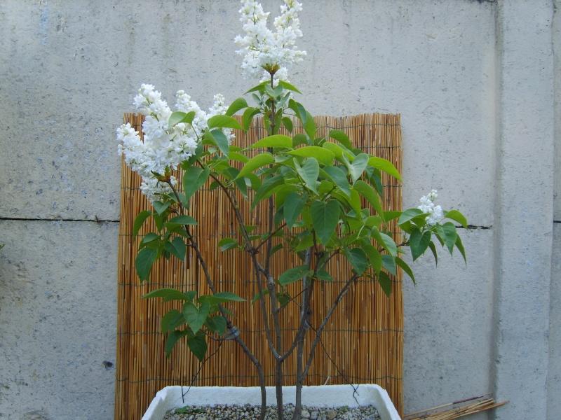 mes bonsaïs - Page 5 28avri10