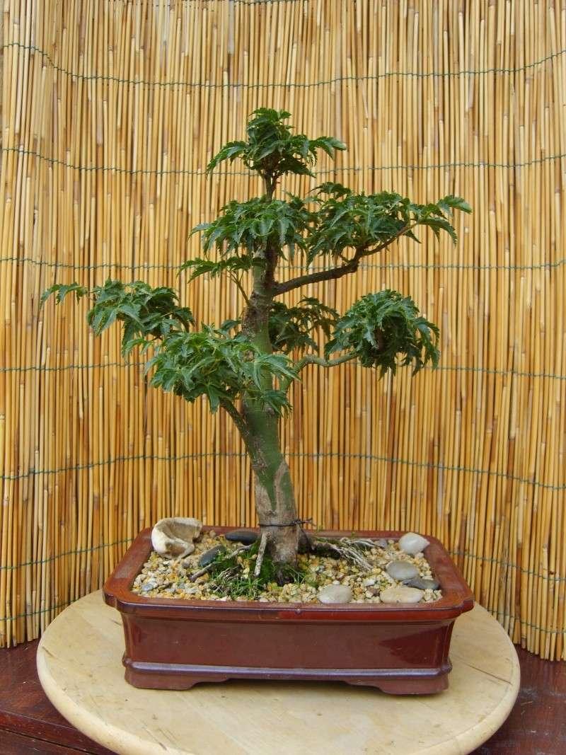 mes bonsaïs - Page 3 31mai210