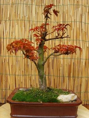 mes bonsaïs - Page 3 31oct210