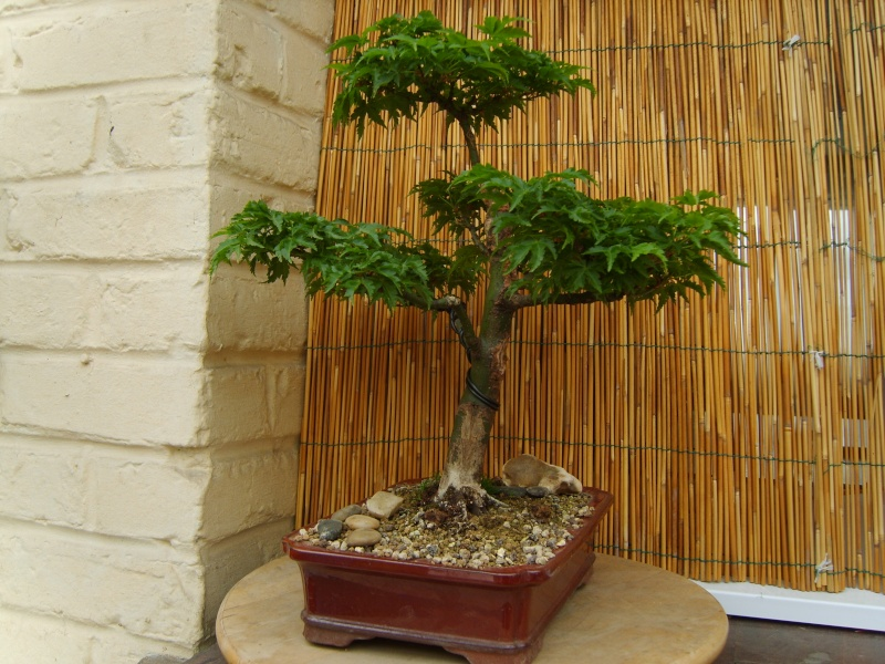 mes bonsaïs - Page 5 7avril10