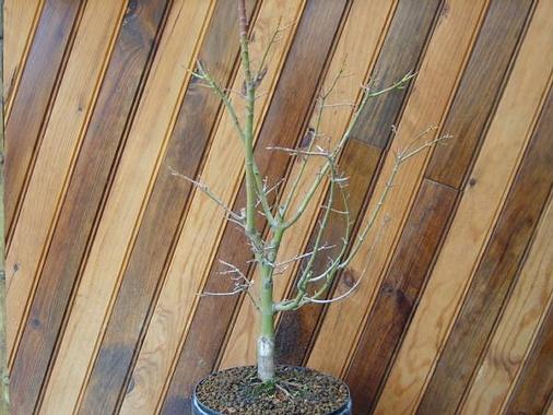 mes bonsaïs - Page 3 Acer_e10