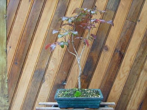 mes bonsaïs - Page 5 Ilex_o11
