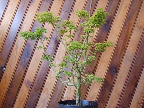mes bonsaïs - Page 3 Sep20010