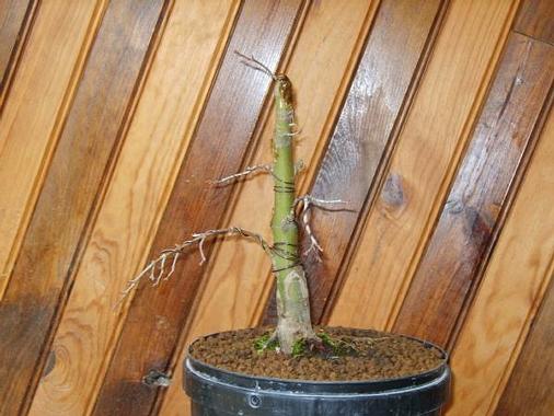 mes bonsaïs - Page 3 Taille10
