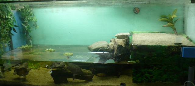 mes tortues pelomedusa Aquate10
