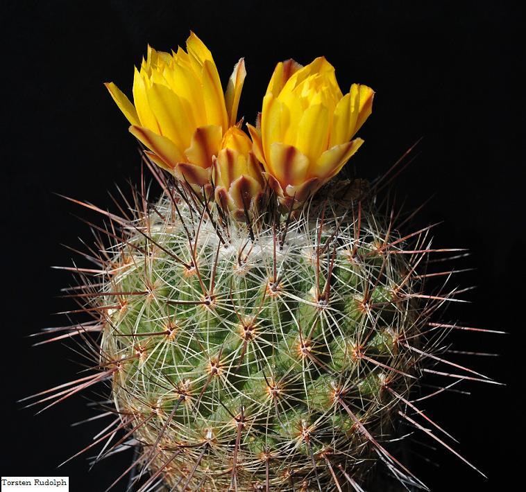 Thelocactus conothelos ssp. aurantiacus Thelo_11