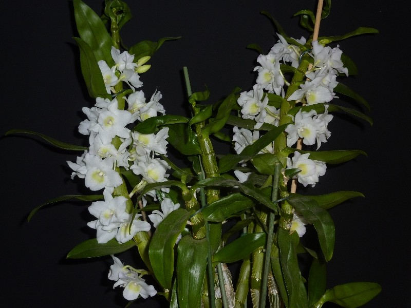 Dendrobium nobile Hybride - Seite 3 Dendro10