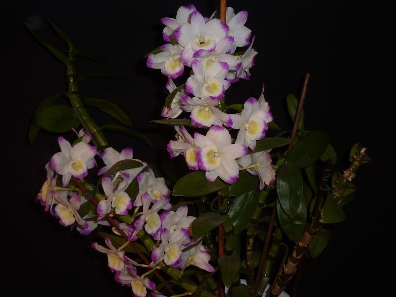 Dendrobium nobile Hybride - Seite 3 Dendro11