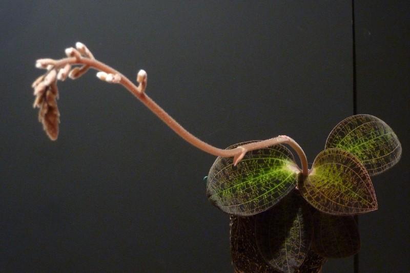 Blattjuwelen - Ludisia, Macodes, Anoectochilus, Dossinia, Goodyera und ähnliche Macode10