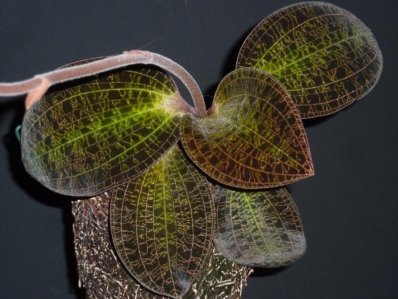 Blattjuwelen - Ludisia, Macodes, Anoectochilus, Dossinia, Goodyera und ähnliche Macode11