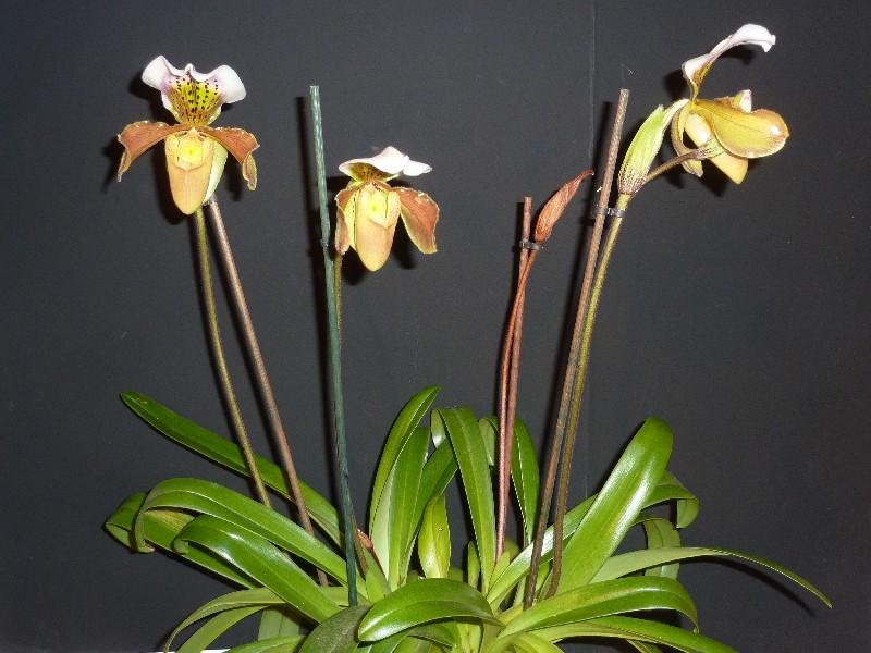 Paphiopedilum Amerikanische Hybride Paph_u10