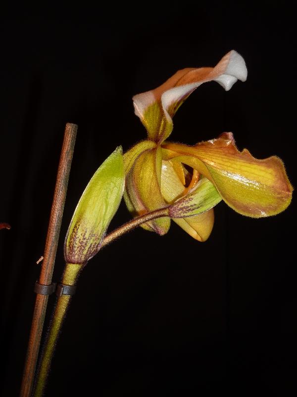 Paphiopedilum Amerikanische Hybride Paph_u12
