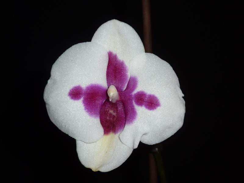 Halbe Blüte Phalae10