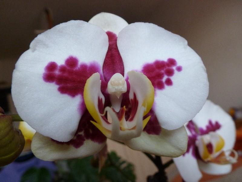 Halbe Blüte Phalae11