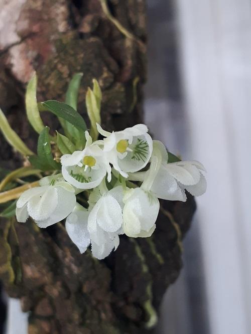 Miniatur-Orchideen Teil 6 - Seite 17 20210310