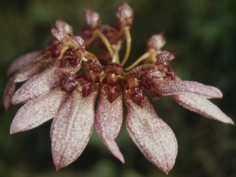 Cirrhopetalum Bulb_e12