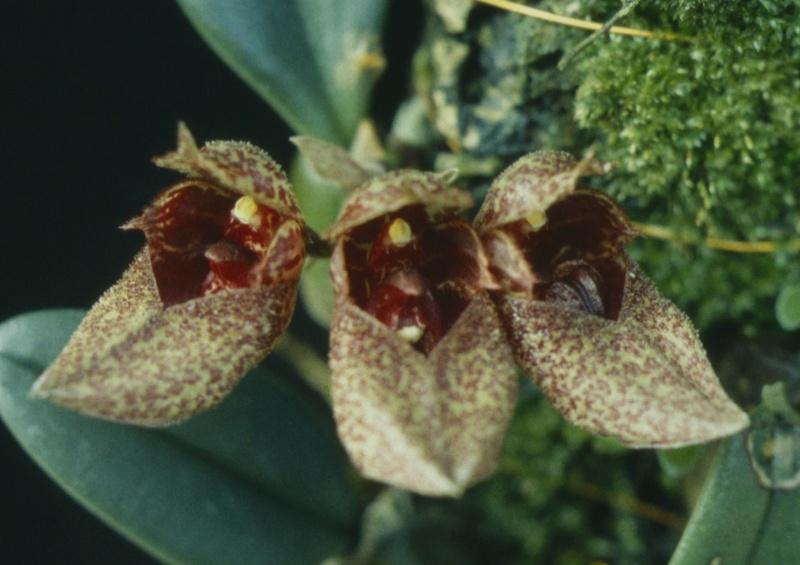 Cirrhopetalum Bulb_f10