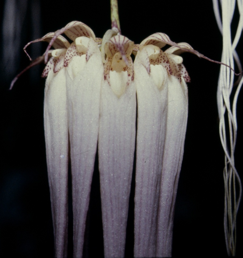 Cirrhopetalum Bulb_l11
