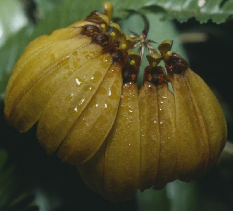 Cirrhopetalum Bulb_m10