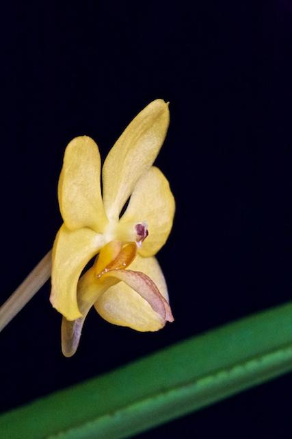 Ascocenda orange Ascoce11