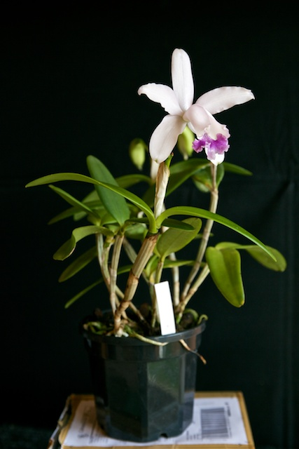 Cattleya intermedia v.coerulea Cattle20