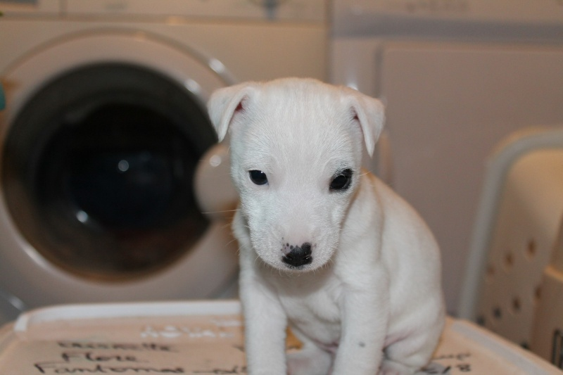 Vends chiot jack russell issu de parents LOF Img_8312