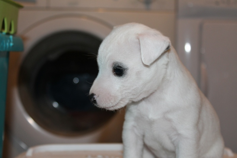 Vends chiot jack russell issu de parents LOF Img_8314