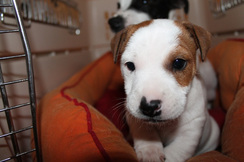 Vends chiot jack russell issu de parents LOF Img_8317