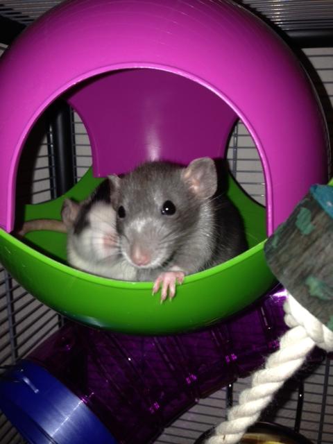 mes ratounes au complet!! Photo_30