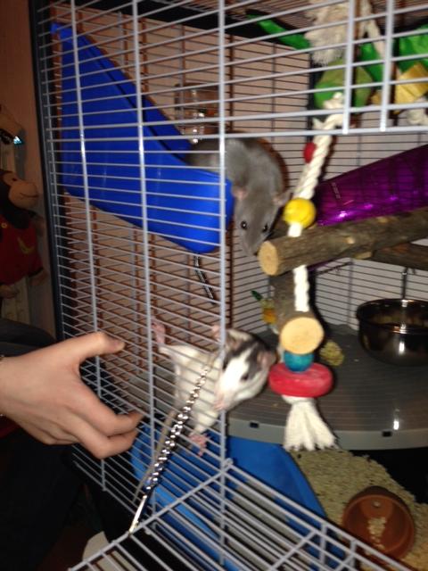 mes ratounes au complet!! Photo_31
