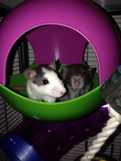 mes ratounes au complet!! Photo_32