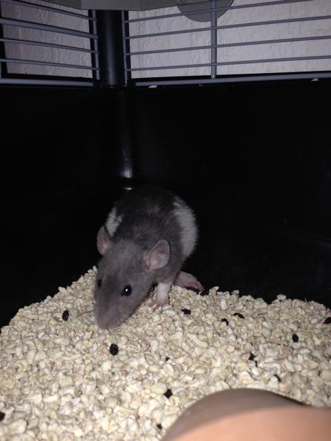 mes ratounes au complet!! Photo_33