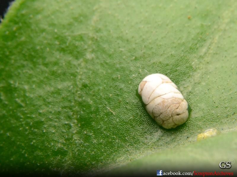 Lychas scutilus Cake10