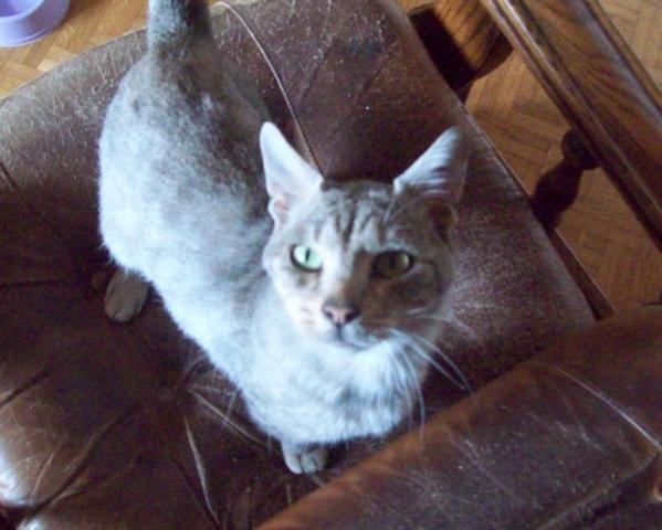 Les chats à adopter qui s'entendent avec les chiens Kitai10